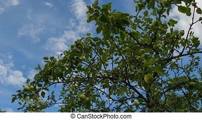 fruit, dans, les, garden., pomme, jardin, temps, sky., 20