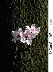 Fruit flowers - Close up of fruit flowers in the earliest...