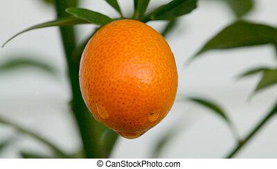 fruit - kumquat 2 - kumquat ripe on tree with water drops...