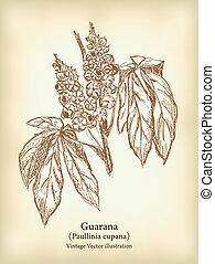 fruit, leaves., guarana, branche