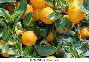 Fruit mandarin on a branch