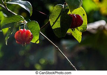 fruit name pitanga still in the tree