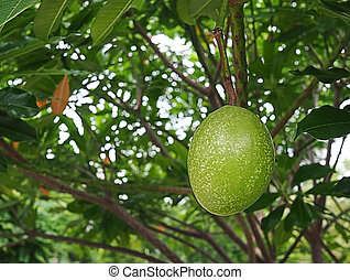 Fruit of Alstonia scholaris tree or Devil Tree in nature
