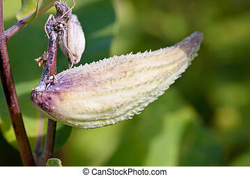 Fruit of Asclepias Syriaca