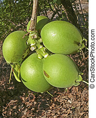 Fruit of Careya arborea Roxb, Careya arborea