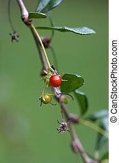 Fruit of Carmona retusa (Vahl) Masam on the tree.