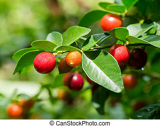 Fruit of Lime Berry on tree.