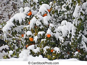 fruit of orange tree under the snow