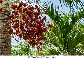 Fruit of palm tree