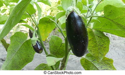 Fruit of ripe eggplant grows on bush in the garden