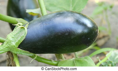 Fruit of ripe eggplant grows on bush in the garden - Fruit...