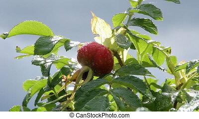 Fruit of rose hips on the Bush