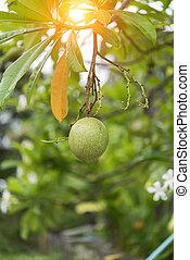 Fruit of Suicide tree