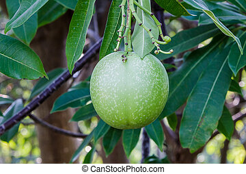 Close up fruit of suicide tree or pong pong on tree.