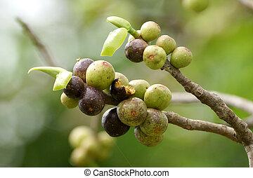 Fruit of the Bodhi Tree