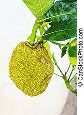 Fruit on the trees. Jackfruit