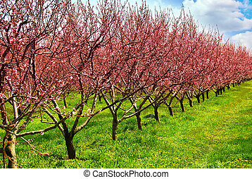 Row of blooming peach trees in a spring orchard