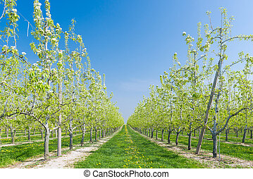 Fruit Orchard - Row of blossoming fruit trees