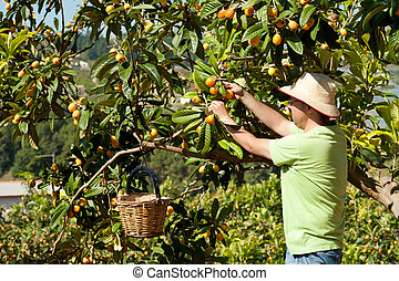 Fruit picker - Agricultural worker during the loquat harvest...