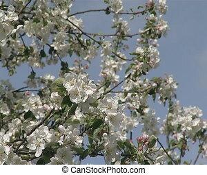 fruit tree bloom sky