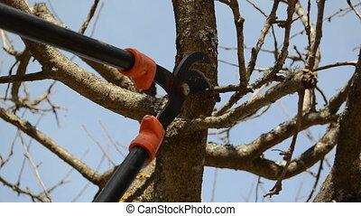fruit tree clipper cut - fruit tree cut trim prune with two...