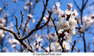 Fruit tree flowers with flying bees, slow motion.
