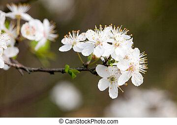 fruit tree white flowers