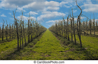 Apple trees in rows on a orchard