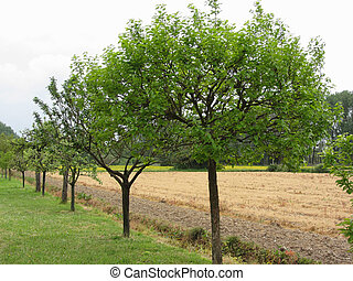 Fruit trees with green leaves in spring . Tuscany, Italy