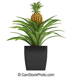 Fruiting pineapple plant with a ripenng fruit potted in a...