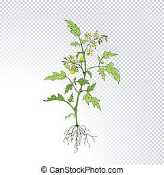 fruiting, planta de tomate