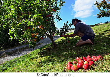Fruits and Vegetables - Apple - Young woman picking apples...