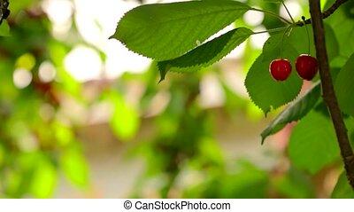 fruits Cherries matured for harvesting
