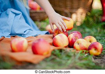 fruits, enfantqui commence à marcher, girl, harvest., orchard., pomme, jardin, concept., manger, beau, récolte, automne, organique