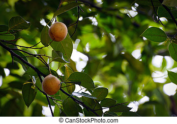 Fruits hanging on a fragrant nutmeg tree, scientific name...