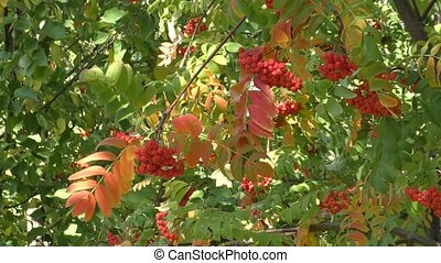 Fruits of autumn Ashberry - Ashberry autumn fruit swinging...