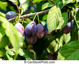 fruits of blue plum on a branch with green leaves close-up