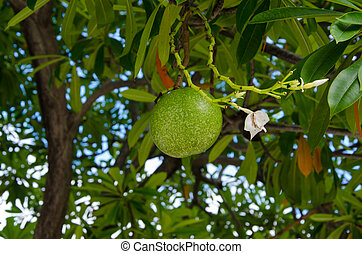 Fruits of cerbera odollam tree in Thailand.