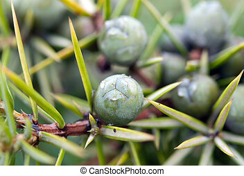 fruits of juniper tree close up