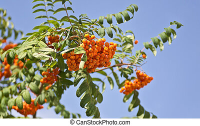 fruits of mountain ash on a background of blue sky