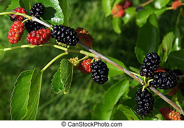 Fruits of mulberry