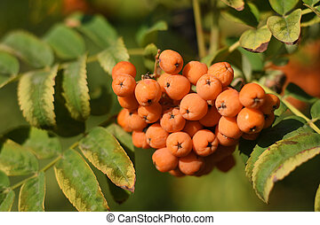 Fruits of rowan on tree close-up