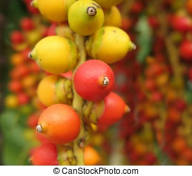 Fruits of the Christmas Palm