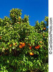 fruits of the tangerine trees. mandarin fruits