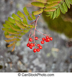 Fruits of wild red mountain ash