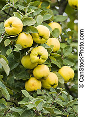 quince - fruits on a quince tree