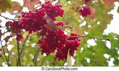 fruits red viburnum tree fall on a yellow green background...