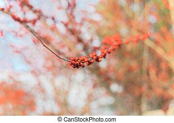 fruits, winterberry, dallas, rojo, árbol, primer plano, inactivo, ilex, decidua, rama, tejas