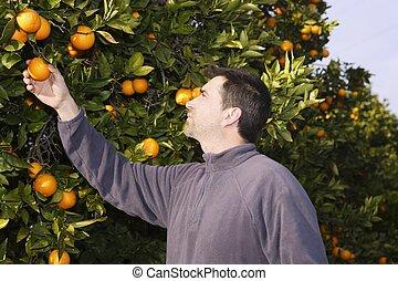 frukter, träd, fält, bonde, apelsin, plockning, skörd