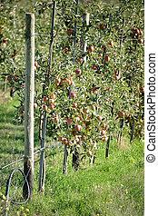 fruktträdgård, äpple